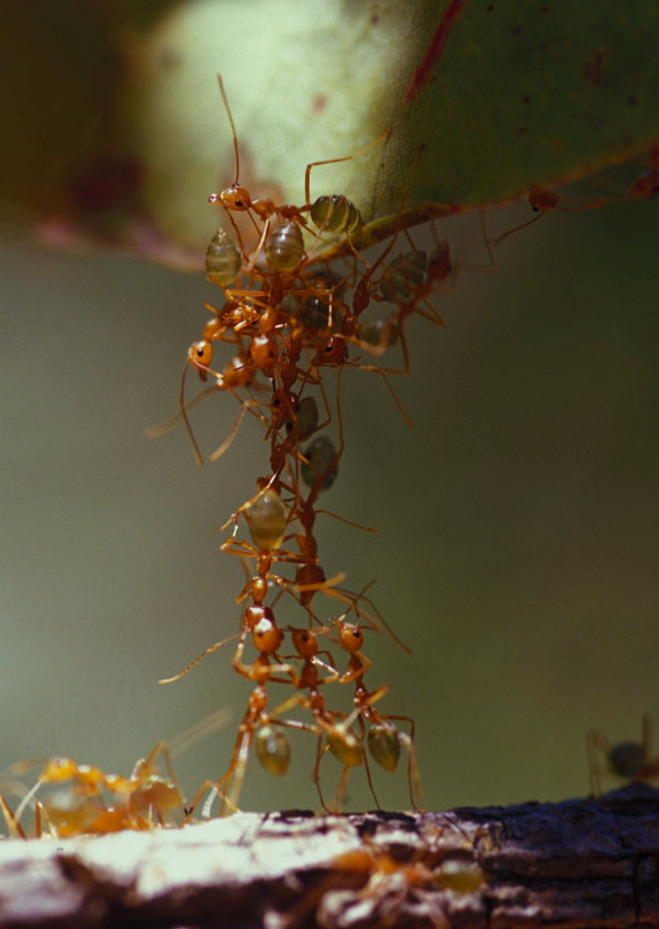 Tower made of ants